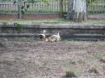 Like a moving yellow carpet. The ducks have reproduced!