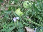 Secret Park Tomato Plant Up Close!